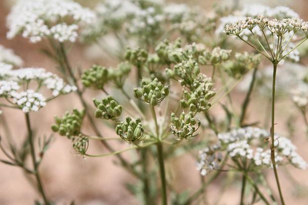 "Plante d'Anis ""Pimpinella Anisum"""